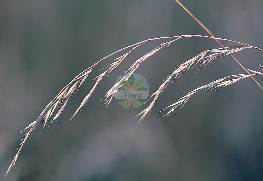 Festuca heterophylla (Verschiedenblaettriger Schwingel - Various-leaved Fescue) | Foto von Festuca heterophylla (Verschiedenblaettriger Schwingel - Various-leaved Fescue). Das Foto wurde in Frankfurt, Hessen, Deutschland aufgenommen. ---- Photo of Festuca heterophylla (Verschiedenblaettriger Schwingel - Various-leaved Fescue).The picture was taken in Frankfurt, Hesse, Germany.