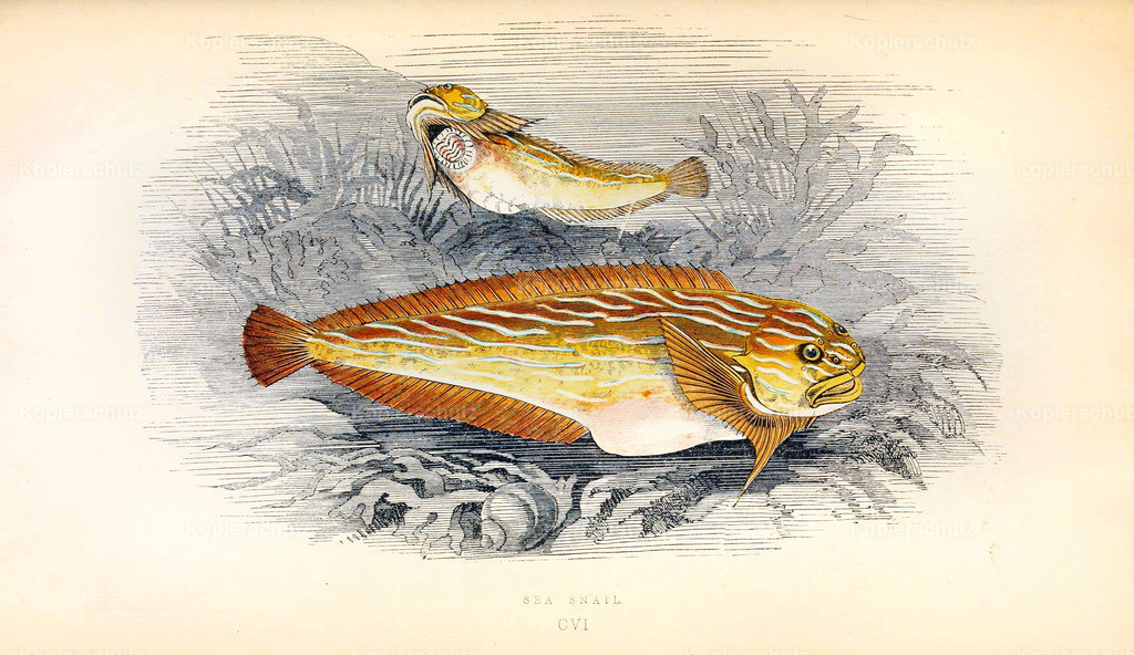 A-History-of-the -Fishes- of- the- British-Islands-Fische-1862-1866 (6)