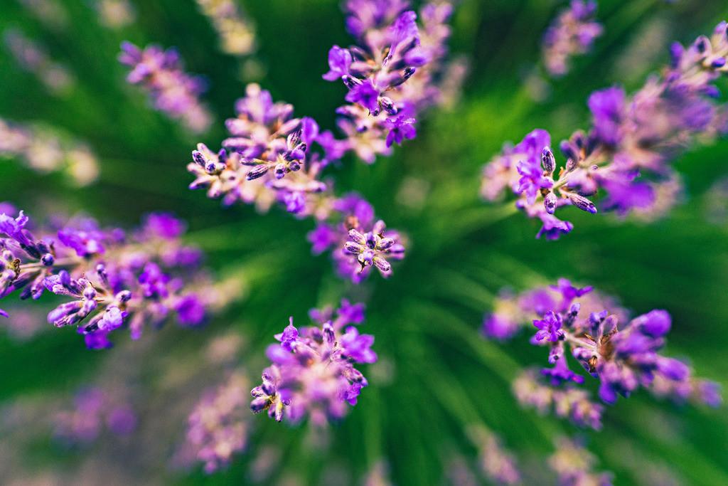Lavendel Feuerwerk