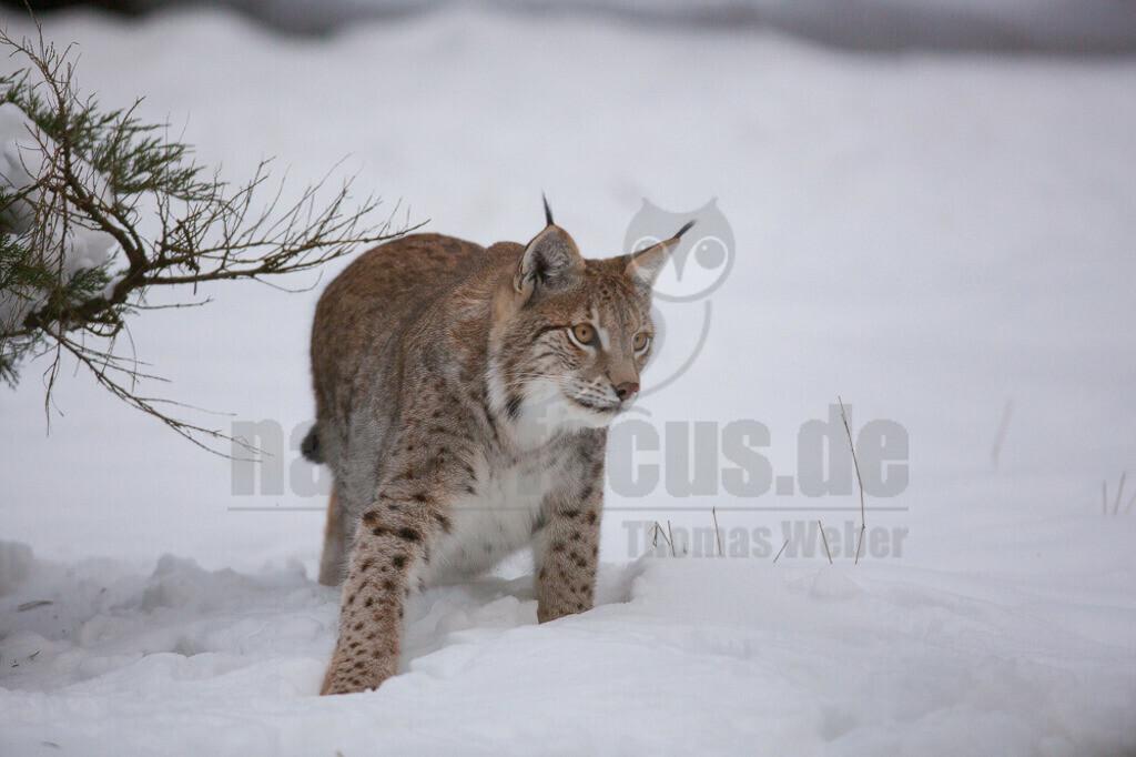 20130122150614 | Die Luchse sind eine Gattung der Familie der Katzen. Alle vier heute lebenden Arten kommen auf der Nordhalbkugel vor: Der Eurasische Luchs ist in weiten Teilen Europas und Asiens verbreitet.