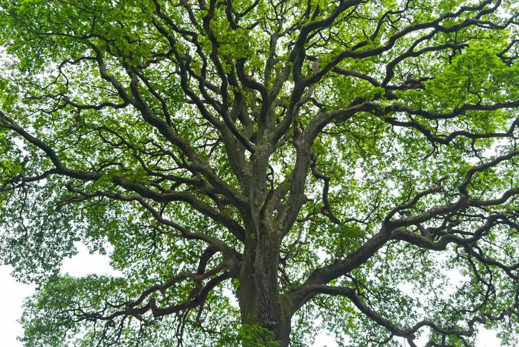 Best. Nr. BäumeGrün03 | Eiche, Co. Wicklow, Irland