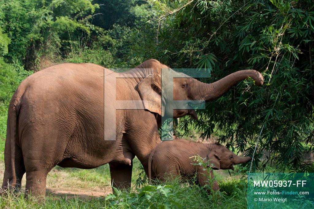 MW05937-FF | Thailand | Goldenes Dreieck | Reportage: Mahut und Elefant - Ein Bündnis fürs Leben | Elefantenmutter mit Baby beim Fressen im Dschungel   ** Feindaten bitte anfragen bei Mario Weigt Photography, info@asia-stories.com **