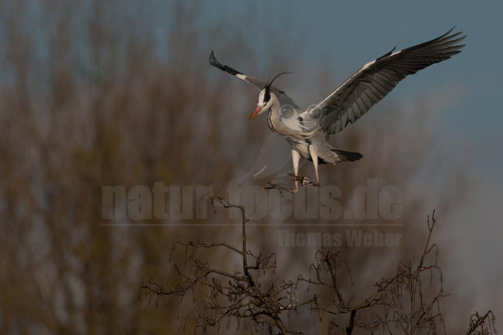 20080314_16370815797   Der Graureiher ist in etwa 90 cm groß und wiegt zwischen 1000 und 3000 Gramm. Das Gefieder auf Stirn und Oberkopf ist weiß, am Hals grauweiß und auf dem Rücken aschgrau mit weißen Bändern. Er fliegt mit langsamen Flügelschlägen und zurückgezogenem Kopf.