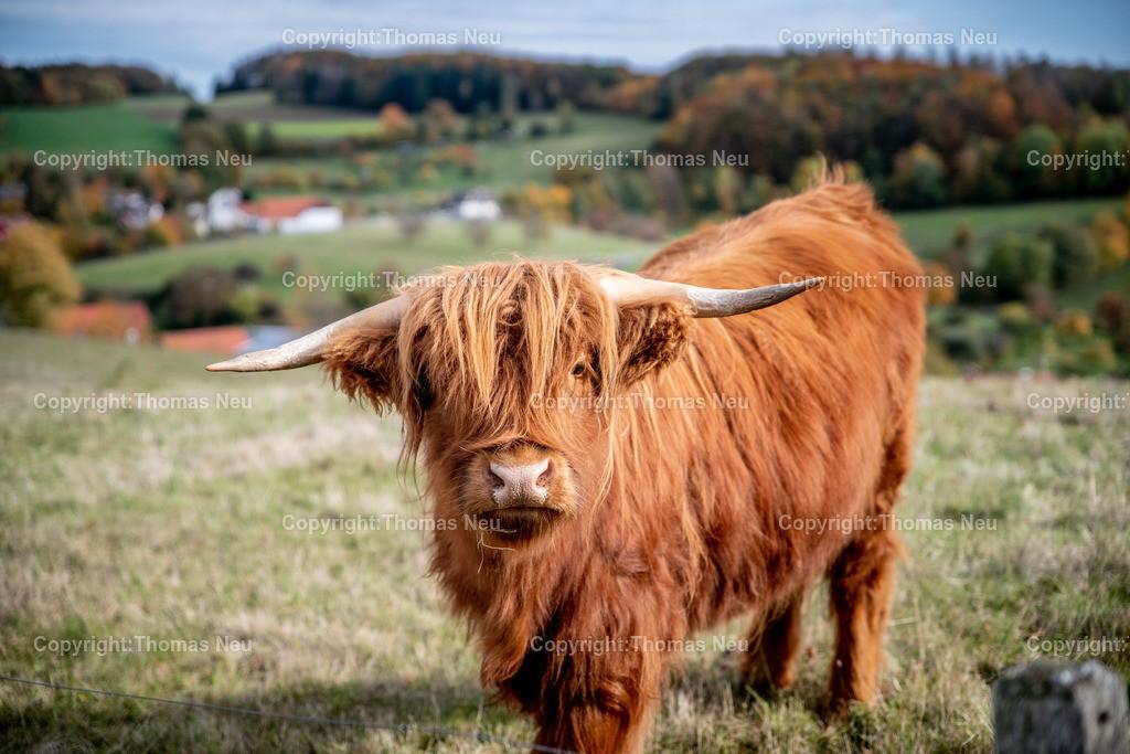 DSC_9454   bli,Lautertal, Herbst, goldener Oktober hier zwischen Kolmbach und Raidelbach,  im Vordergrund grasende schottische Hochlandrinder, der Eindruck einer Modelleisenbahnlandschaft, Idylle, Odenwald, Highland Cattle, Kyloe, Bild: Thomas Neu