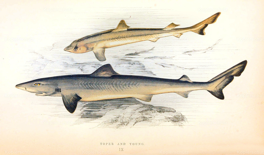 A-History-of-the -Fishes- of- the- British-Islands-Fische-1862-1866 (11)