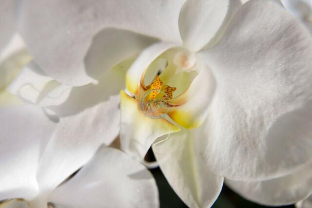 Insel Mainau Bodensee Orchideenblüten Nahaufnahme | DEU, Deutschland, Mainau, 29.03.2011, Insel Mainau Bodensee Orchideenblüten © 2011 Christoph Hermann, Bild-Kunst Urheber 707707