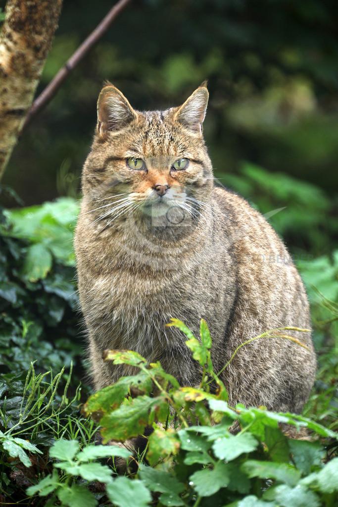 Wildkatze im Hunsrück
