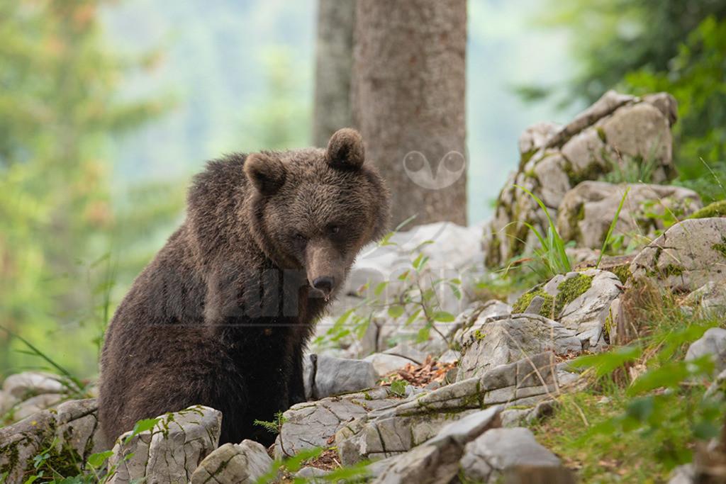 663A1181 | Der Braunbär gehört zu den Säugetieren aus der Familie der Bären. In Eurasien und Nordamerika kommt er in mehreren Unterarten vor, darunter Europäischer Braunbär, Grizzlybär und Kodiakbär. Als eines der größten an Land lebenden Raubtiere der Erde spielt er in zahlreichen Mythen und Sagen eine wichtige Rolle.