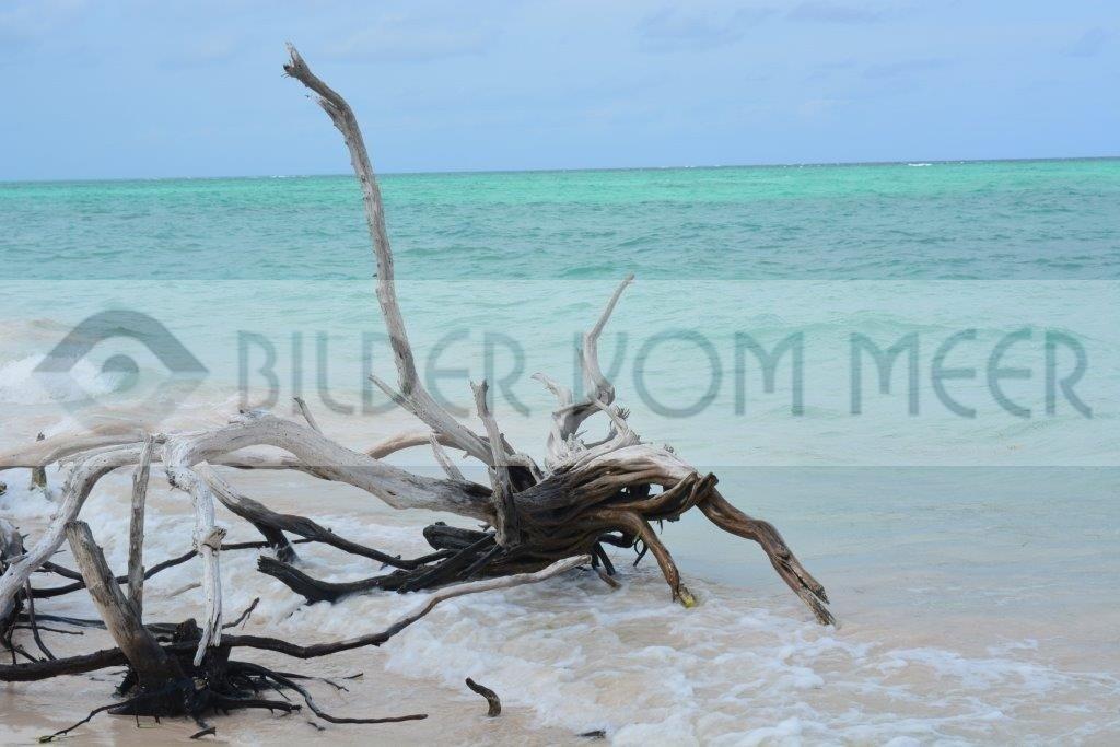 Bilder vom Meer Karibik   Holz Spinne am kubanischen Strand