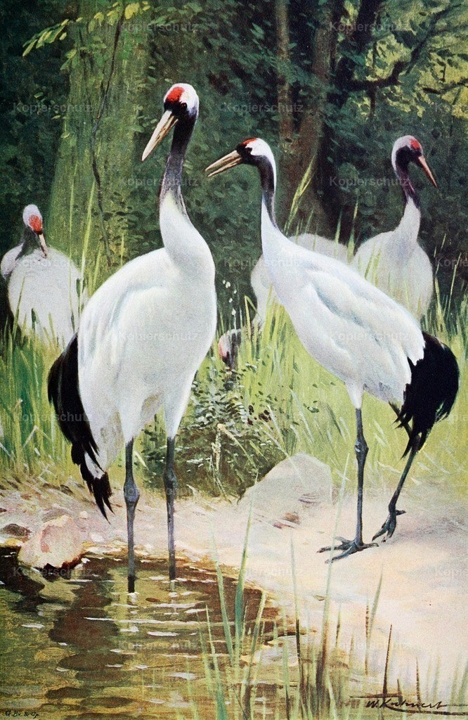 Kuhnert_ F.W. (1865-1926) - Wild Life of the World 1916 - Manghurian Crane
