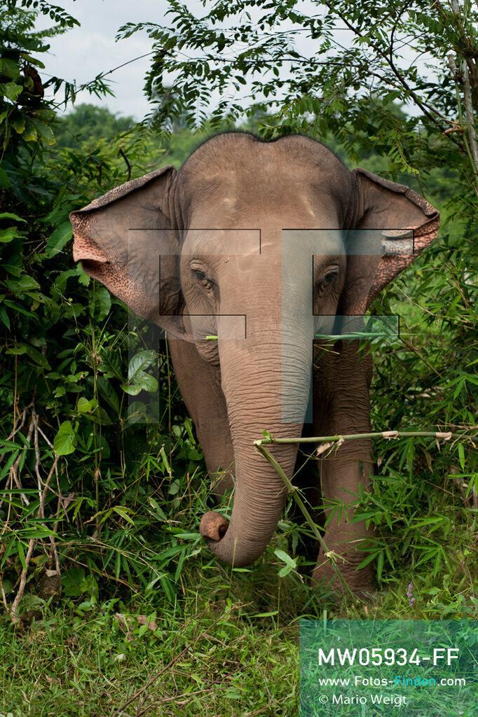 MW05934-FF | Thailand | Goldenes Dreieck | Reportage: Mahut und Elefant - Ein Bündnis fürs Leben | Asiatischer Elefant beim Fressen im Dschungel  ** Feindaten bitte anfragen bei Mario Weigt Photography, info@asia-stories.com **