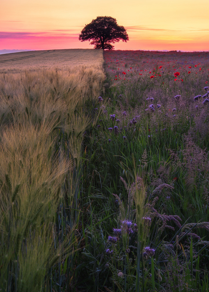 Two Fields | Ein Mohnfeld und ein Gerstenfeld mit einem Baum am Ende