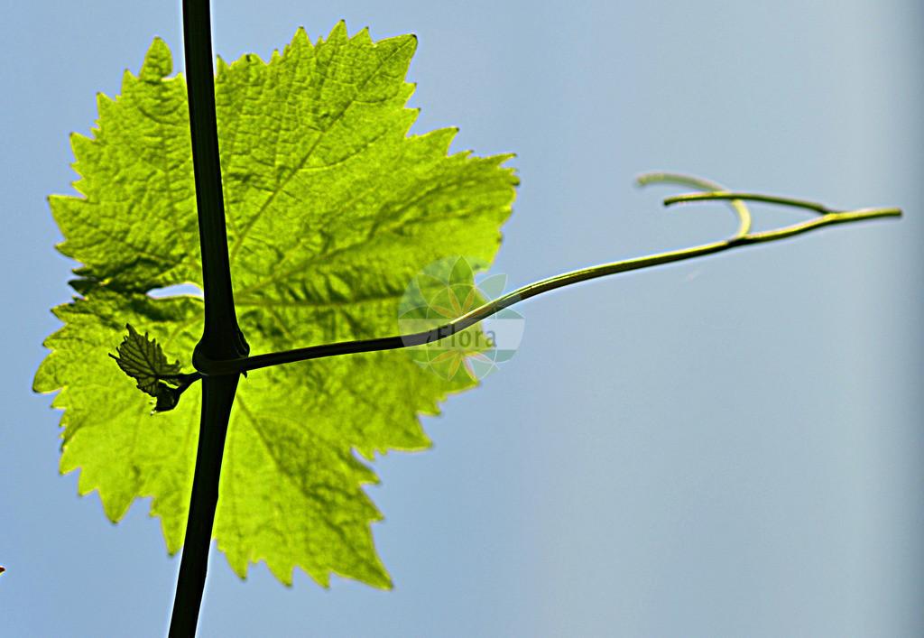 Vitis vinifera (Weinrebe - Grape-vine) | Foto von Vitis vinifera (Weinrebe - Grape-vine). Das Foto wurde in aufgenommen. ---- Photo of Vitis vinifera (Weinrebe - Grape-vine).The picture was taken in .