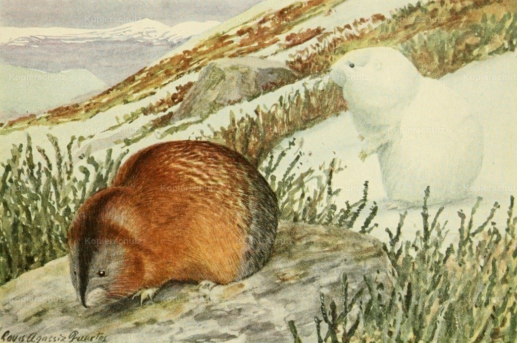 Fuertes_ L.A. (1874-1927) - Wild Animals of N. America 1918 - Banded Lemming