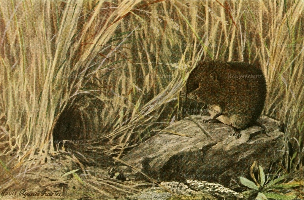 Fuertes_ L.A. (1874-1927) - Wild Animals of N. America 1918 - Field or Meadow Mouse