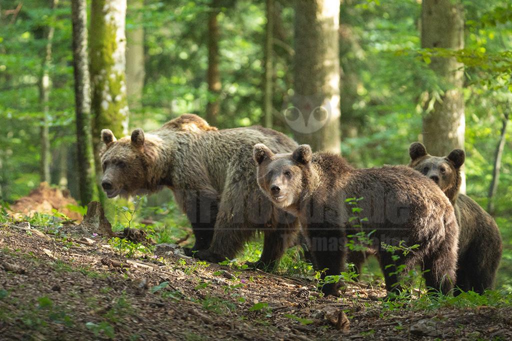 663A1036 | Der Braunbär gehört zu den Säugetieren aus der Familie der Bären. In Eurasien und Nordamerika kommt er in mehreren Unterarten vor, darunter Europäischer Braunbär, Grizzlybär und Kodiakbär. Als eines der größten an Land lebenden Raubtiere der Erde spielt er in zahlreichen Mythen und Sagen eine wichtige Rolle.