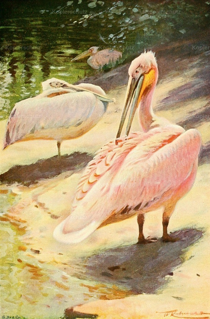 Kuhnert_ F.W. (1865-1926) - Wild Life of the World 1916 - Pelican