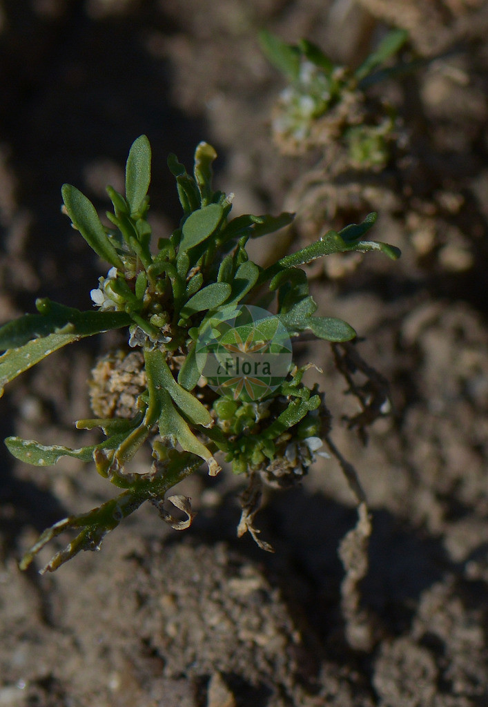 Lepidium coronopus (Niederliegender Kraehenfuss - Swine-cress) | Foto von Lepidium coronopus (Niederliegender Kraehenfuss - Swine-cress). Das Foto wurde in Goettingen, Niedersachsen, Deutschland aufgenommen. ---- Photo of Lepidium coronopus (Niederliegender Kraehenfuss - Swine-cress).The picture was taken in Goettingen, Lower Saxony, Germany.