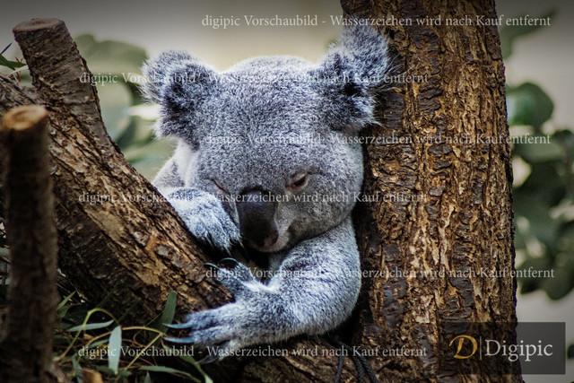 Koala Bär 1 - Vorschaubild