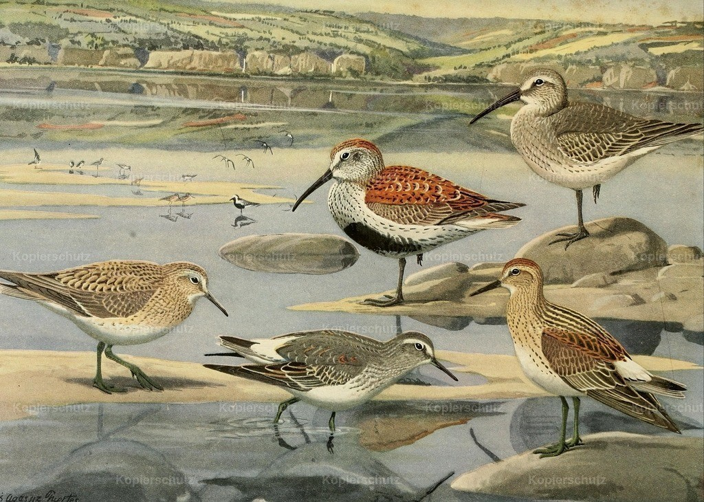 Fuertes_ L.A. (1874-1927) - Birds of Massachusetts 1925 - Sandpipers