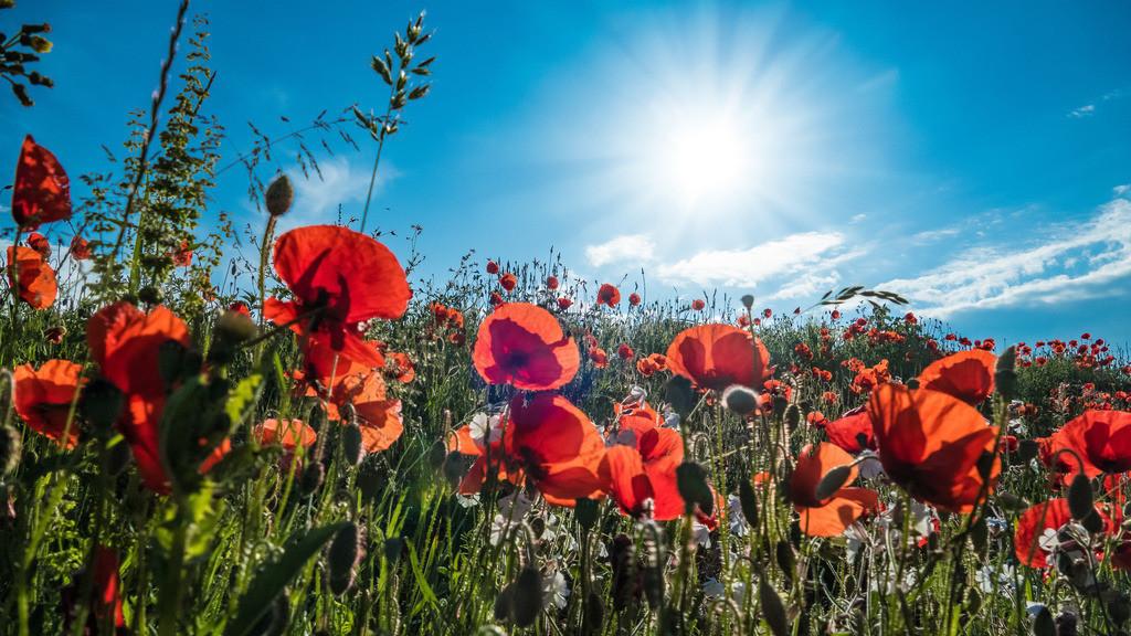 Rote Mohnblumen vor blauem Himmel im Sonnenschein