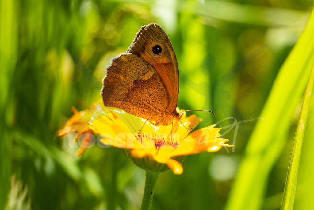 Schmetterling auf einer Blume   Da sitzt ein schöner Schmetterling auf einer gelben Blume