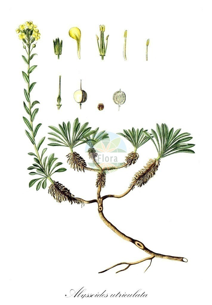 Historical drawing of Alyssoides utriculata | Historical drawing of Alyssoides utriculata showing leaf, flower, fruit, seed
