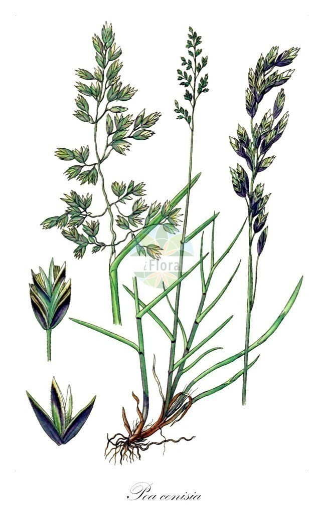 Historical drawing of Poa cenisia (Mont Cenis Bluegrass) | Historical drawing of Poa cenisia (Mont Cenis Bluegrass) showing leaf, flower, fruit, seed