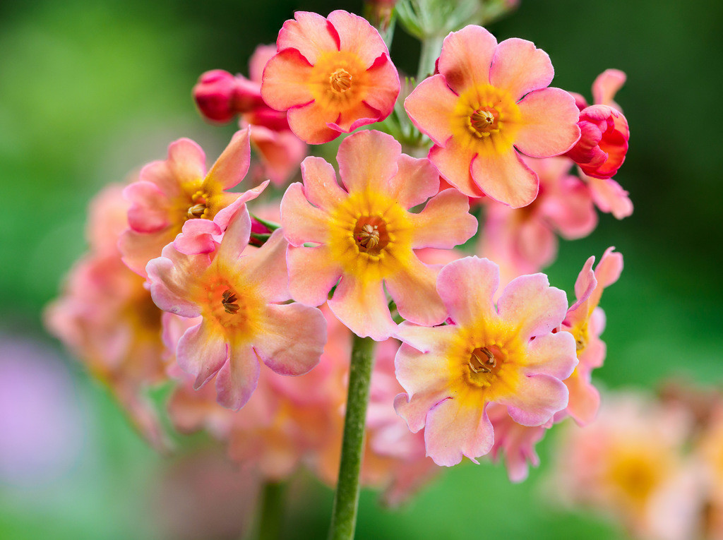 Etagen-Primel - Primula bullesiana | Blüten einer Etagen-Primel (Primula bullesiana).