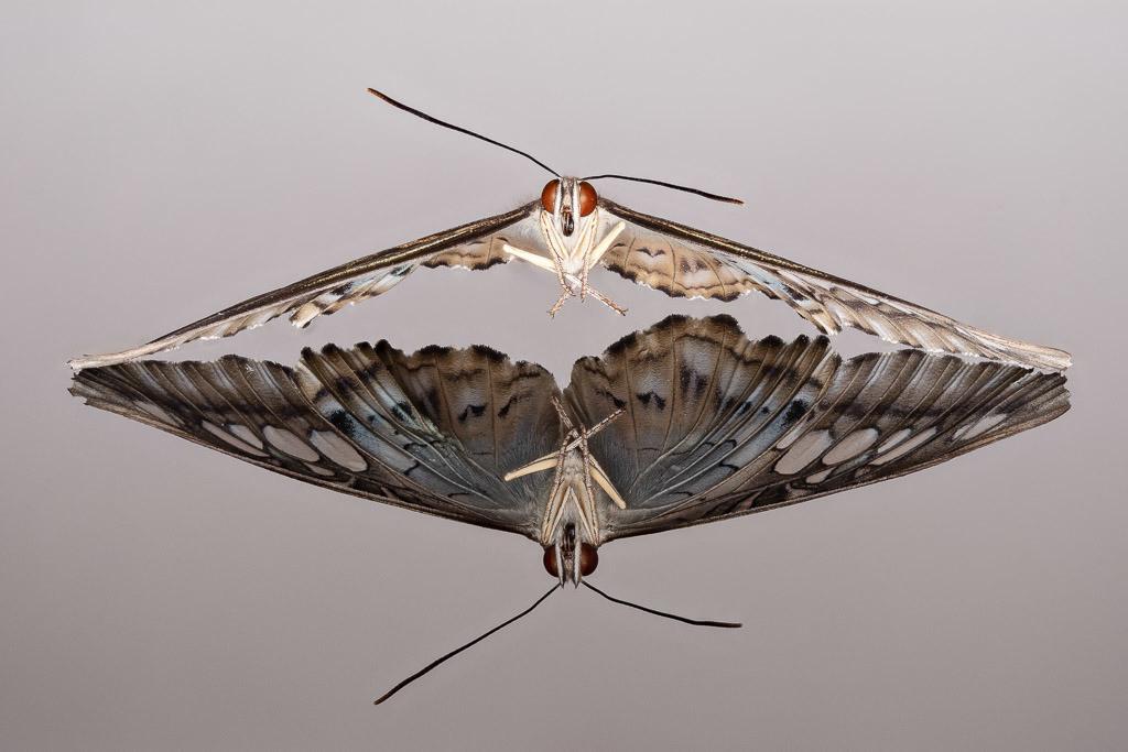 Reflexionen eines Schmetterlings   Parthenos sylvia