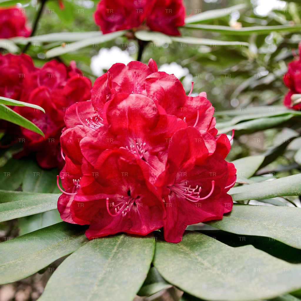 Rhododendron 'Lems Stormcloud'