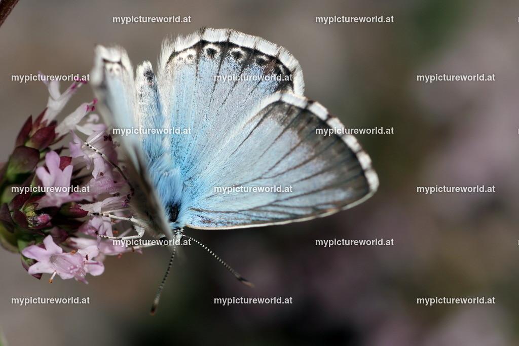 Polyommatus coridon-003