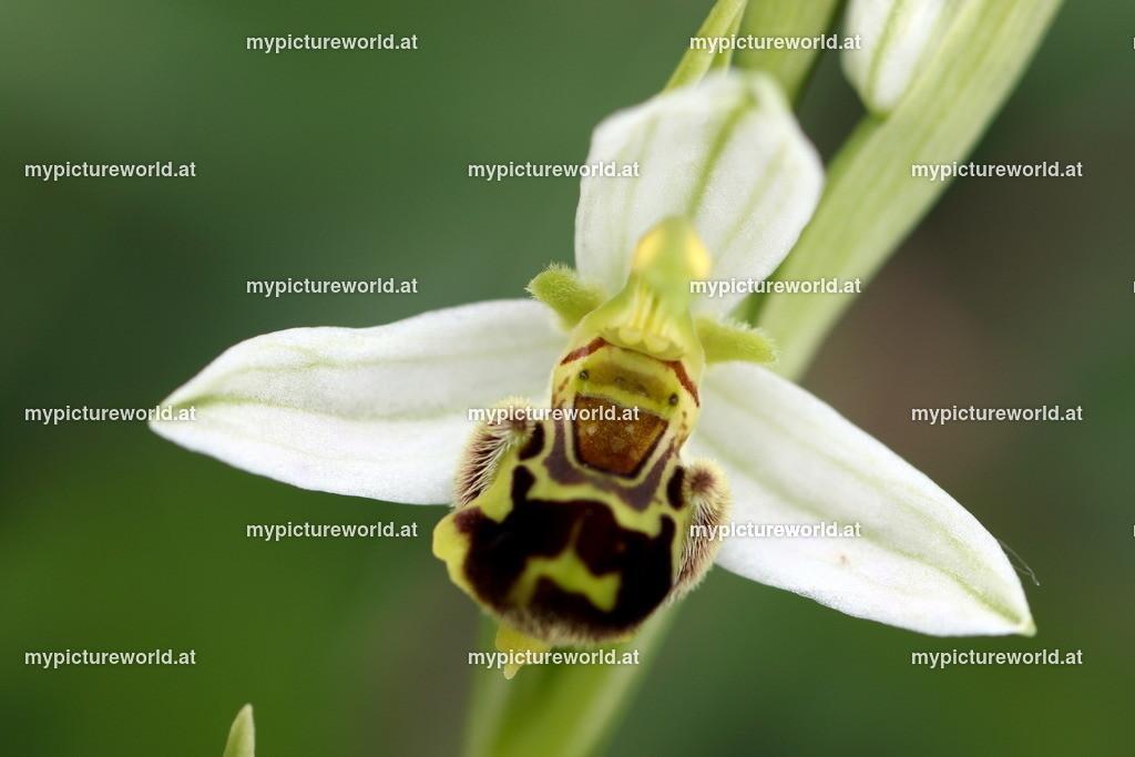 Bienen-Ragwurz-012