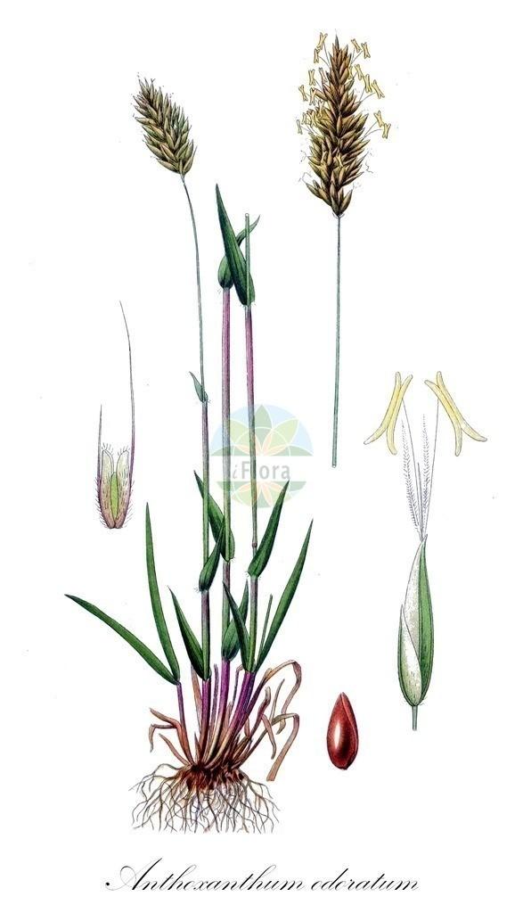 Historical drawing of Anthoxanthum odoratum (Sweet Vernal-grass) | Historical drawing of Anthoxanthum odoratum (Sweet Vernal-grass) showing leaf, flower, fruit, seed