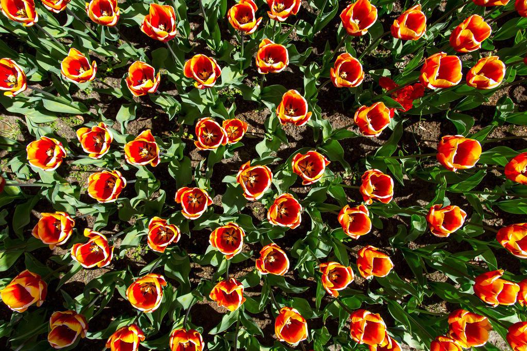 JT-160803-135   viele Tulpen, Tulpenfeld, Tulpenbeet, gelb, rot,