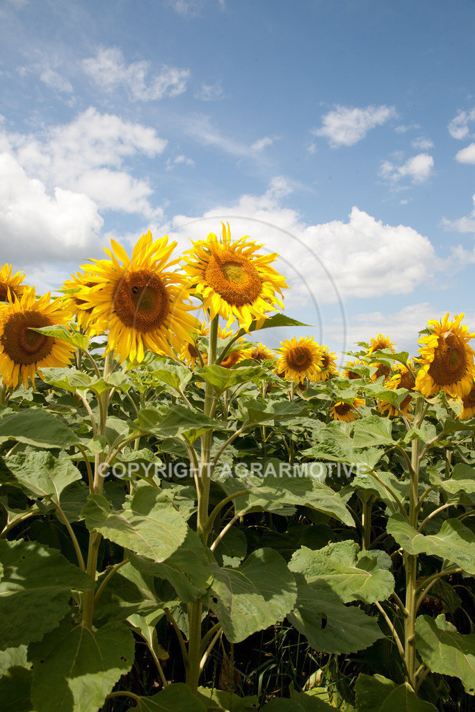 20090711-IMG_3689 | blühende Sonnenblumen im Sommer - AGRARMOTIVE Bilder aus der Landwirtschaft