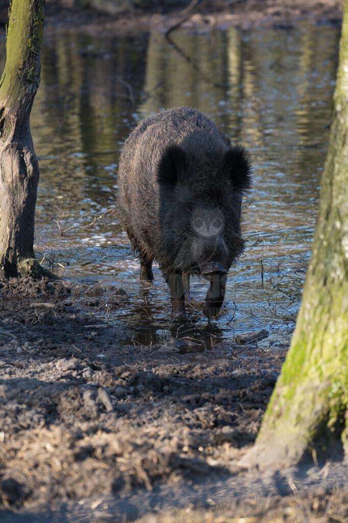 20140309_165450  | Der Geruchssinn und das Gehör des Wildschweins sind besonders gut entwickelt. Der sehr gute Geruchssinn ermöglicht es den Wildschweinen sogar Genießbares unter der Erdoberfläche (wie z.B. Kartoffeln) zu finden.