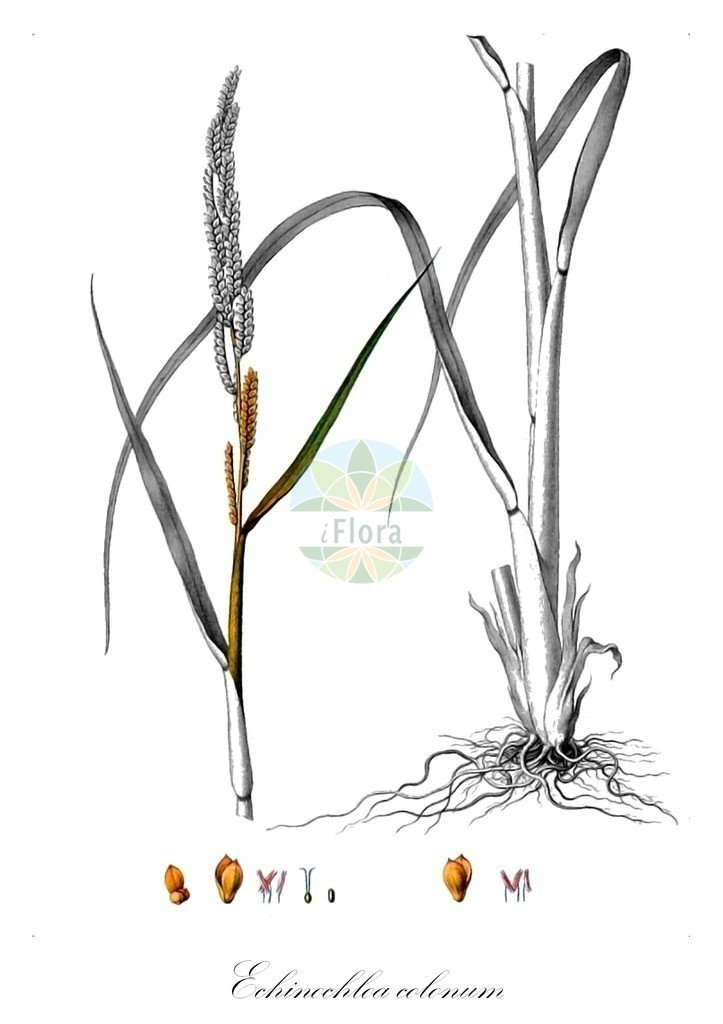 Historical drawing of Echinochloa colonum (Cockspur Grass) | Historical drawing of Echinochloa colonum (Cockspur Grass) showing leaf, flower, fruit, seed