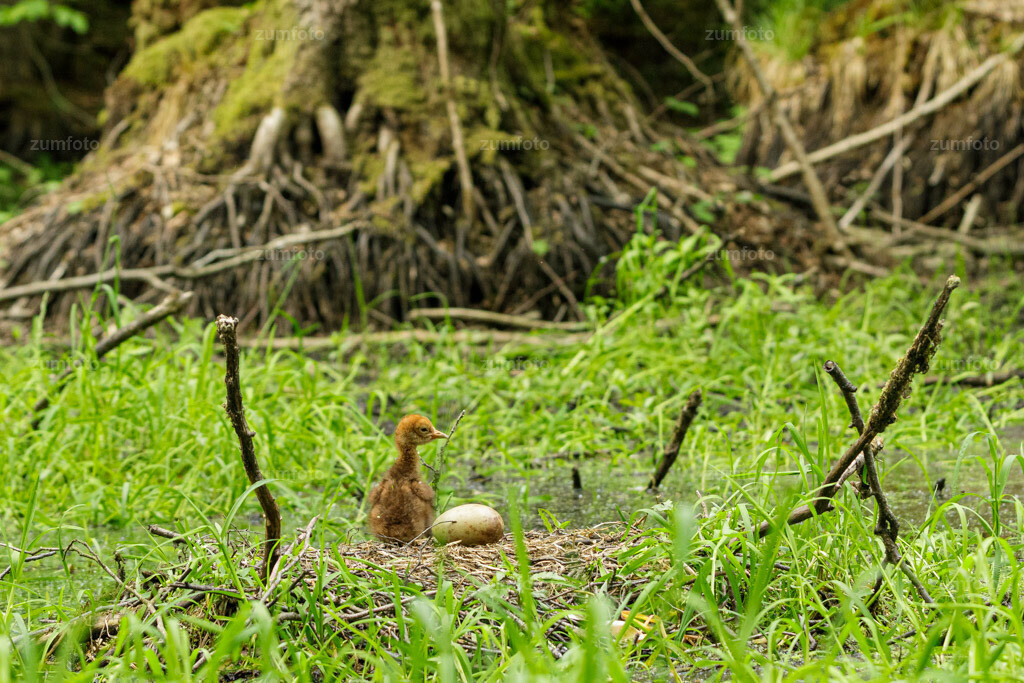 200527_1552-9227 | Wo ist Mama hin?  Noch ist das 2. Ei ohne Löcher oder sonstige Risse. Die Kraniche waren so wachsam, dass sie das Nest bei dem kleinsten Geräusch oder Bewegung verließen. Da ich selbst ca. 100 Meter vom Nest entfernt im Wald auf Abstand war, wusste ich selbst oft nicht von was sie sich gestört fühlten, wenn sie zwischendurch das Nest verließen.  Heute dann wieder ein Paar weitere Infos zu den Fotos. Der Schritt mit der Wildkamera war nur erst der erste Punkt für die Fotos. Anhand des Zeitraffers konnte ich jetzt schön sehen, was bei den Kranichen so los war und ob schon was zu sehen war von einem Küken. Irgendwann kam dann der Tag an dem ein Küken auf den Bildern der Kamera zu sehen war und das war dann der Startschuss für mich. Da die Kraniche im Abstand von 1 bis 2 Tagen schlüpfen, war meine Hoffnung, dass ich das Schlüpfen des 2. Küken fotografieren kann. Einige Tage nachdem ich die Eier entdeckte, stellte ich in der Nähe des Nestes ein Stativ mit Tarnnetz drüber auf. Die Stelle war echt perfekt, da ich dort die Kamera so aufstellen konnte, dass das Stativ komplett von einem umgestürzten Baum verdeckt war.  Weitere Infos kommen mit dem nächsten Bild.