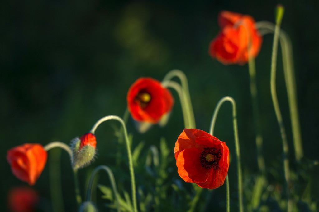 Mohn   Blumenmotiv