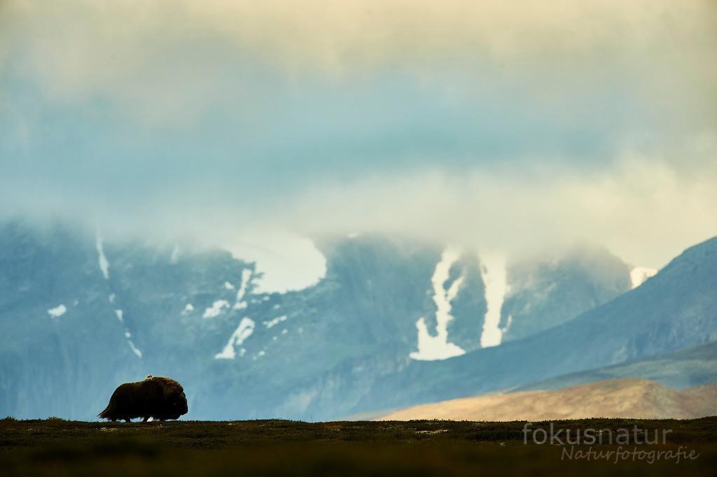 Moschusochse im Dovrefjell | Ein einzelner Moschusochse zieht durch die weiten des norwegischen Dovrefjell