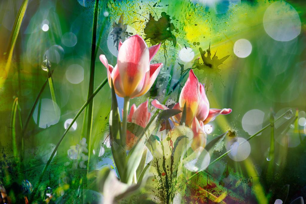 Tulpen Mysterium mit Wiese und Tropfen  | Es ist mir immer wieder eine Ehre die Natur zu fotografieren und ebenso eine Freude meine Kunst zu ihr zu gesellen.  Es ist wie ein Bisschen bei einander sein, eine kleine Begegnung zwischen Abbild und Ihm, ein bescheidenes Geschenk, dem Meister gereicht, Freude zurückgegeben, Kunstgeflüster