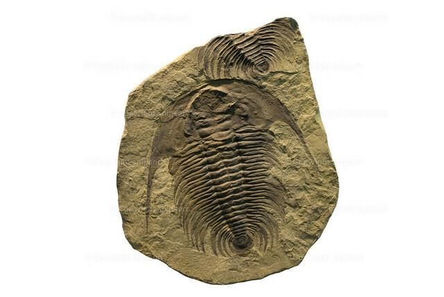 Fossil eines Trilobiten (freigestellt)