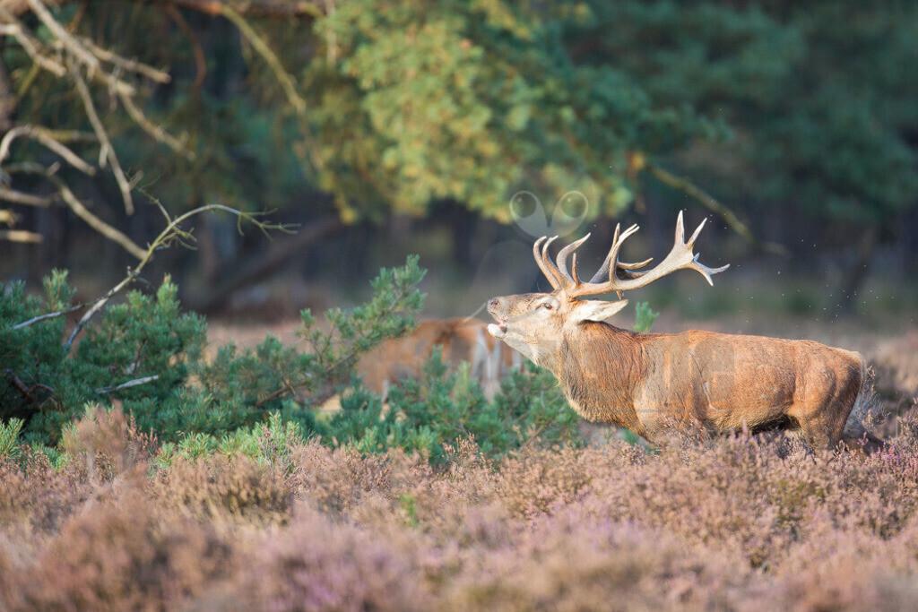 20131003174632 | Der Rothirsch, jägersprachlich Rotwild und seltener auch Edelhirsch genannt, ist eine Art der Echten Hirsche. Unter den Hirscharten zeichnet sich der Rothirsch, kurz auch Hirsch genannt, durch ein besonders großes und weitverzweigtes Geweih aus.