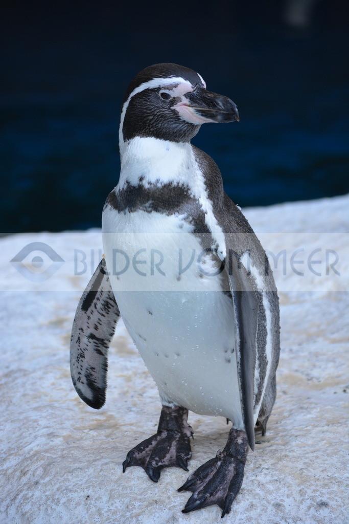 Pinguin Bilder   Foto Pinguin Spanien