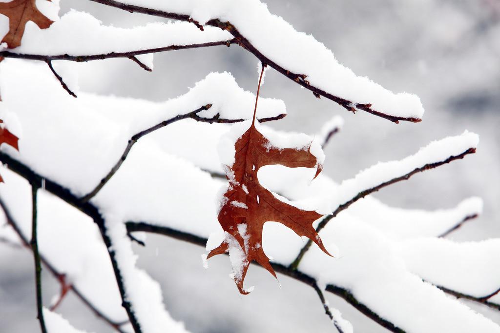 Winter | Rotes vertrocknetes Blatt an einem Ast, verschneit,