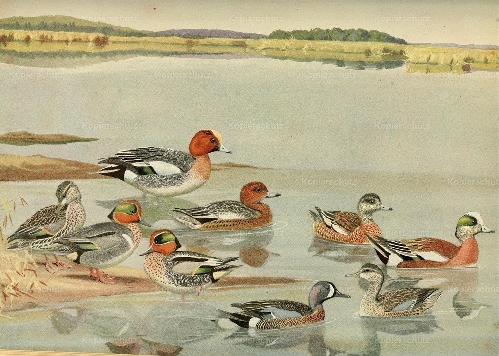 Fuertes_ L.A. (1874-1927) - Birds of Massachusetts 1925 - Widgeons _ Teals