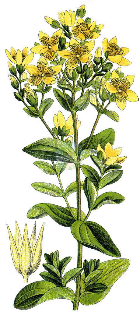 Hypericum tetrapterum (Gefluegeltes Johanniskraut - Square-stalked St John's-Wo | Historische Abbildung von Hypericum tetrapterum (Gefluegeltes Johanniskraut - Square-stalked St John's-Wort). Das Bild zeigt Blatt, Bluete, Frucht und Same. ---- Historical Drawing of Hypericum tetrapterum (Gefluegeltes Johanniskraut - Square-stalked St John's-Wort).The image is showing leaf, flower, fruit an