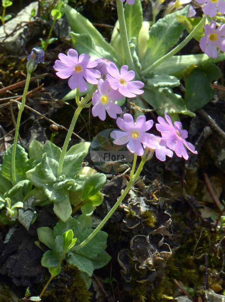 Primula farinosa (Mehlige Schluesselblume - Bird's-eye Primro   Foto von Primula farinosa (Mehlige Schluesselblume - Bird's-eye Primrose). Das Foto wurde in Muenchen, Bayern, Deutschland aufgenommen. ---- Photo of Primula farinosa (Mehlige Schluesselblume - Bird's-eye Primrose).The picture was taken in Munich, Bavaria, G