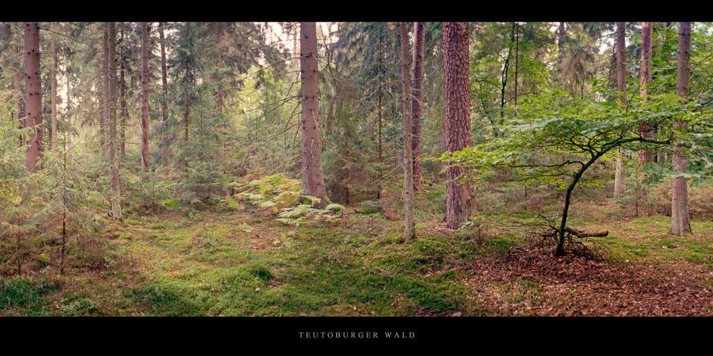 Teutoburger Wald   Lichtung mit Buche und Farnen im Nadelwald Teutoburger Wald